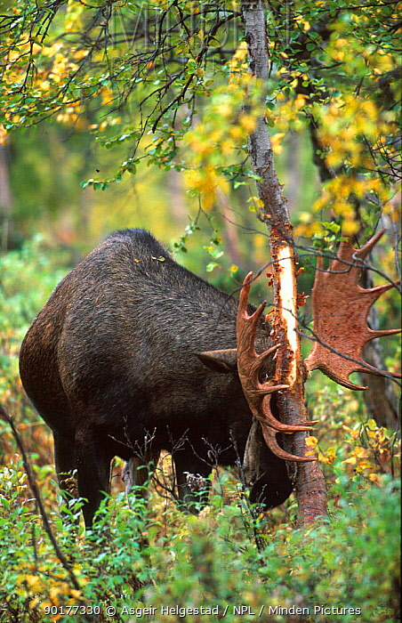 Moose rubbing velvet off antlers against tree (Alces alces) Sarek NP, Norway  -  Asgeir Helgestad/ npl