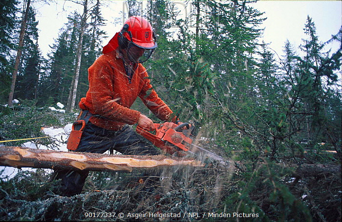 Man cutting timber with chain saw Norway  -  Asgeir Helgestad/ npl