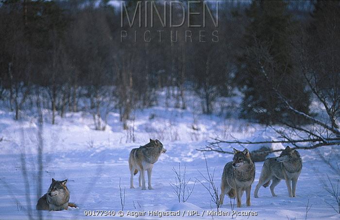 Pack of European grey wolves in snow (Canis lupus) Norway  -  Asgeir Helgestad/ npl