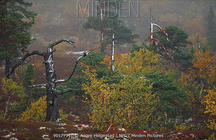 Ural Forest scene, Fulufjellet NP, Sweden  -  Asgeir Helgestad/ npl