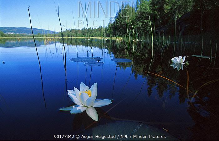 White water lily (Nymhaea alba) on lake, Vatnebrynvannet, Buskerus, Norway  -  Asgeir Helgestad/ npl