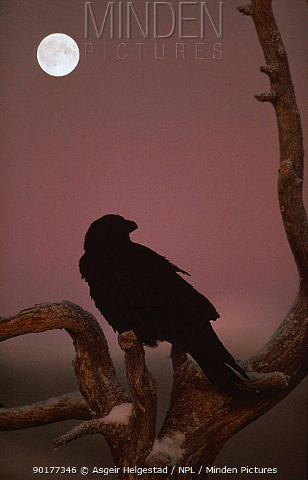 Common raven (Corvus corax) silhouette and moon Norway  -  Asgeir Helgestad/ npl