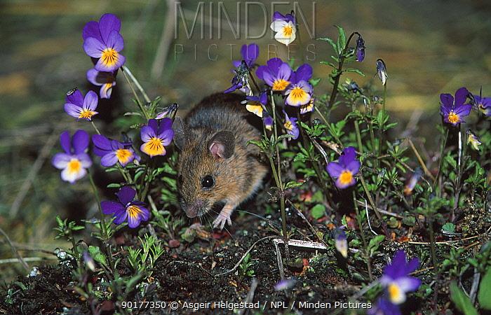 Yellow-necked mouse field mouse (Apodemus flavicollis) Norway  -  Asgeir Helgestad/ npl