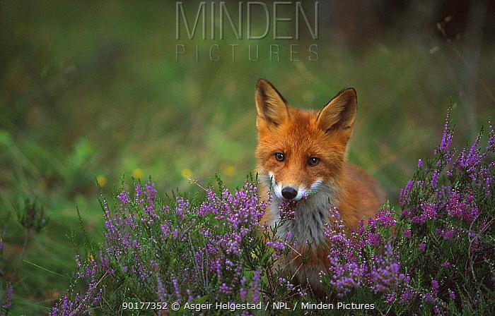 Young Red fox (Vulpes vulpes) Norway  -  Asgeir Helgestad/ npl