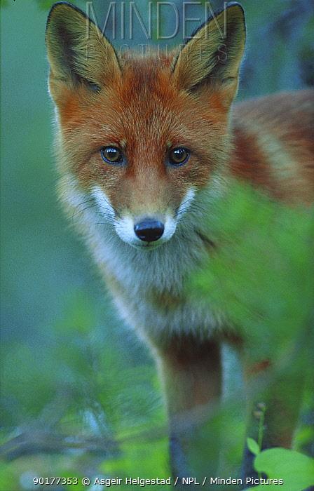 Young Red fox portrait (Vulpes vulpes) Norway  -  Asgeir Helgestad/ npl