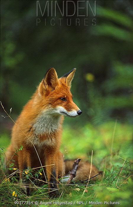 Red fox sitting (Vulpes vulpes) Norway  -  Asgeir Helgestad/ npl