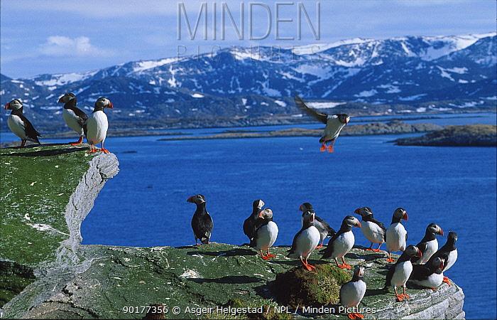Puffins (Fratercula arctica) Gjesvaerstappan, Mageroy, Finnmark, Norway  -  Asgeir Helgestad/ npl