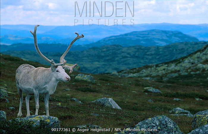 Old Reindeer bull resting in windy place to avoid biting insects (Rangifer tarandus) summer Buskerud, Norefjell, Norway  -  Asgeir Helgestad/ npl