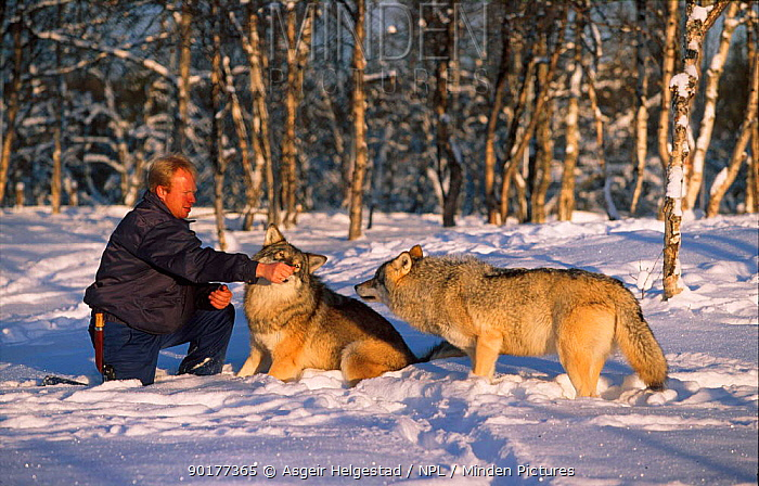 Man with Alpha male and female European grey wolves (Canis lupus) Norway  -  Asgeir Helgestad/ npl