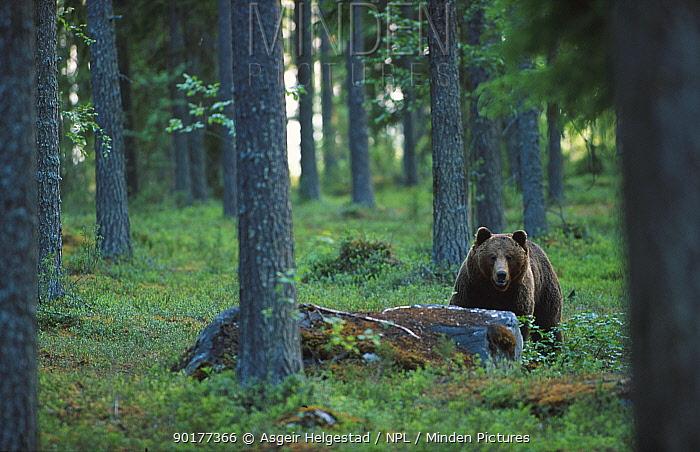 European Brown bear in pine forest (Ursus arctos) Finland  -  Asgeir Helgestad/ npl