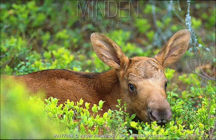 European moose one day-old calf (Alces alces) Norway  -  Asgeir Helgestad/ npl