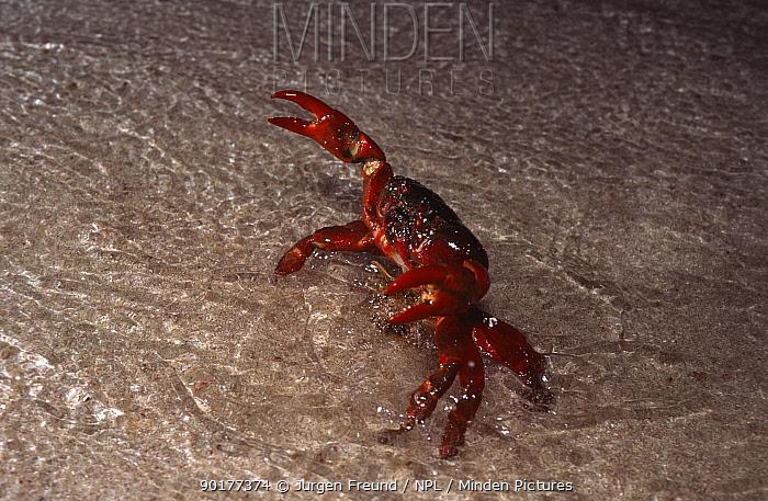 Christmas island red crab spawning at coast (Gecarcoidea natalis) Christmas Island, Indian Ocean, Australia  -  Jurgen Freund/ npl