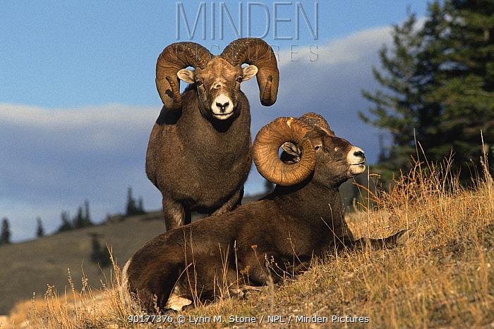 Bighorn sheep (Ovis cnadensis) Jasper NP, Canada  -  Lynn M. Stone/ npl