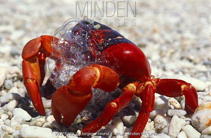Christmas Island Red Crab.Minden Pictures Stock Photos Stressed Christmas Island Red