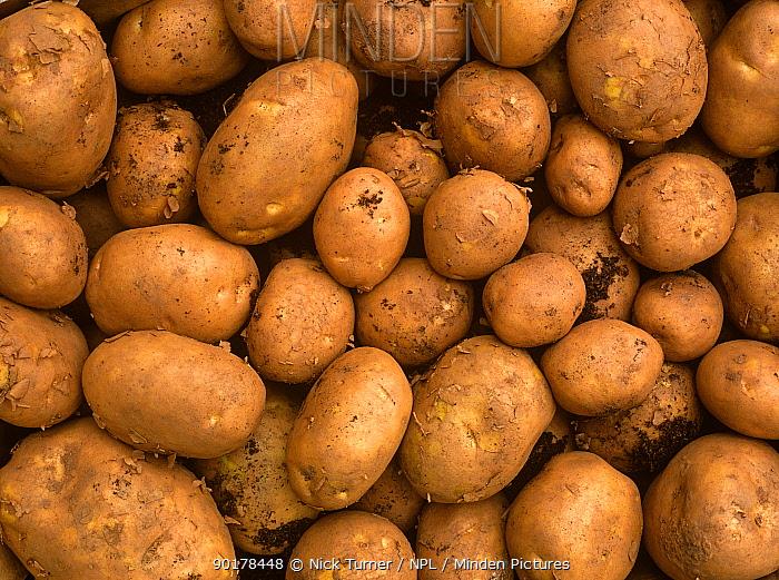 Potatoes (Solanum tuberosum) UK  -  Nick Turner/ npl