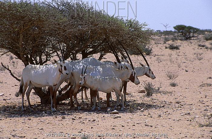 Arabian oryx herd in shade (Oryx leucoryx) Jaaluni Oman  -  Hanne & Jens Eriksen/ npl