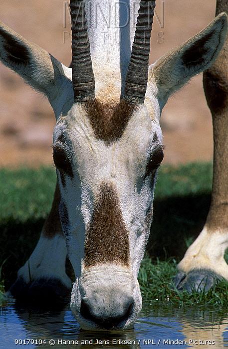 Close-up of Arabian oryx (Oryx leucoryx) face whilst drinking Jaaluni Oman  -  Hanne & Jens Eriksen/ npl