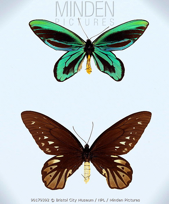 Minden pictures stock photos queen alexandra birdwing butterfly queen alexandra birdwing butterfly potamogale velox museum specimens male top female below sciox Images