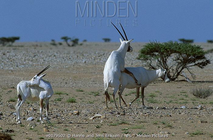 Arabian oryx mating (Oryx leucoryx) Jaaluni Oman  -  Hanne & Jens Eriksen/ npl