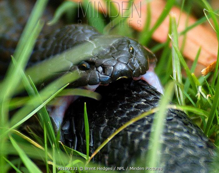 Tiger snake (Notechis sp) eating another tiger snake, Tasmania, Australia  -  Brent Hedges/ npl