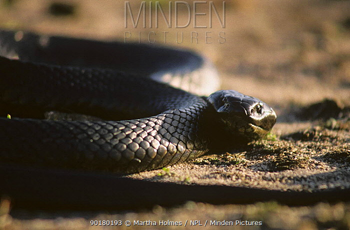 Black tiger snake (Notechis ater) Bass strait, Chappell Island, Australia  -  Martha Holmes/ npl