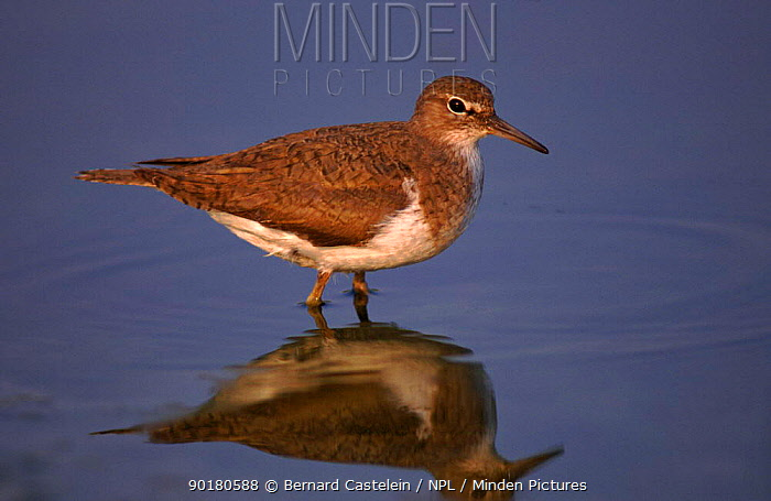 Common sandpiper wading, Belgium, Europe  -  Bernard Castelein/ npl