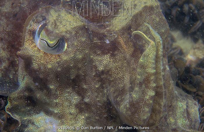 Common cuttlefish close-up (Sepia officinalis) UK  -  Dan Burton/ npl
