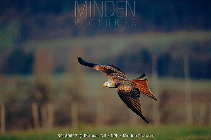 Red kite (Milvus milvus) in flight Germany, Europe  -  Dietmar Nill/ npl