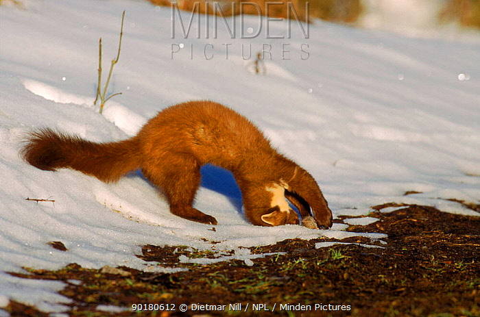 Pine marten playing with rodent prey (Martes martes) Germany  -  Dietmar Nill/ npl