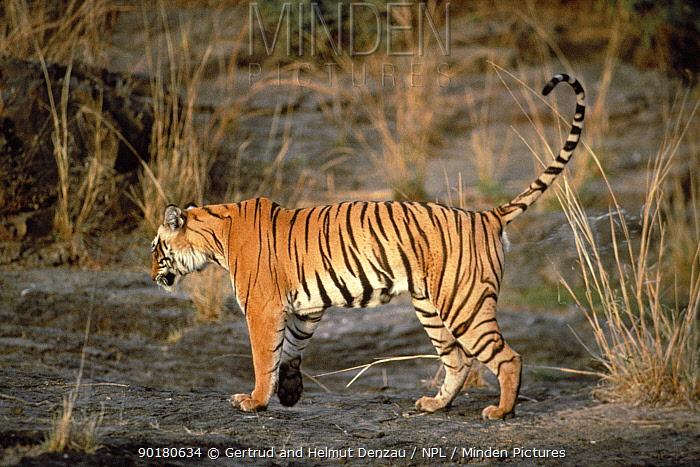 Bengal tiger spaying urine to mark territory (panthera tigris tigris) Ranthambhore, India  -  Gertrud & Helmut Denzau/ npl