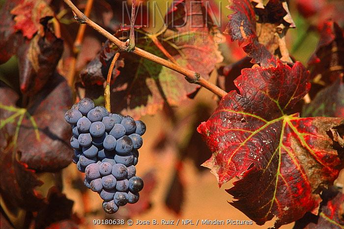 Bunch of black Grapes haning from vine (Vitis vinifera) Murcia, Spain, Europe  -  Jose B. Ruiz/ npl