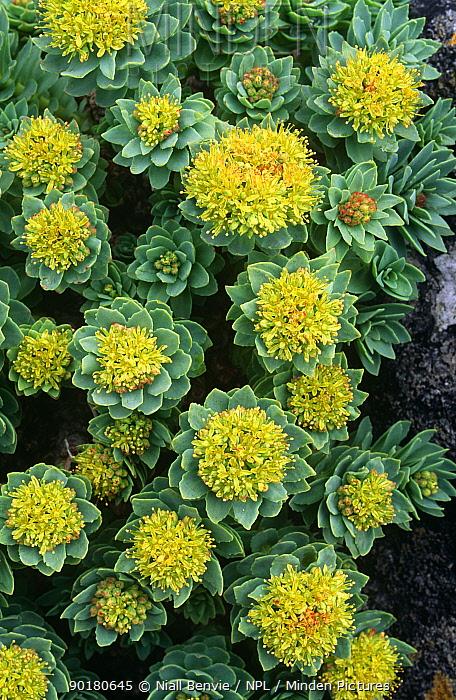 Roseroot in flower (Rhodiola rosea) Mingulay, Scotland  -  Niall Benvie/ npl
