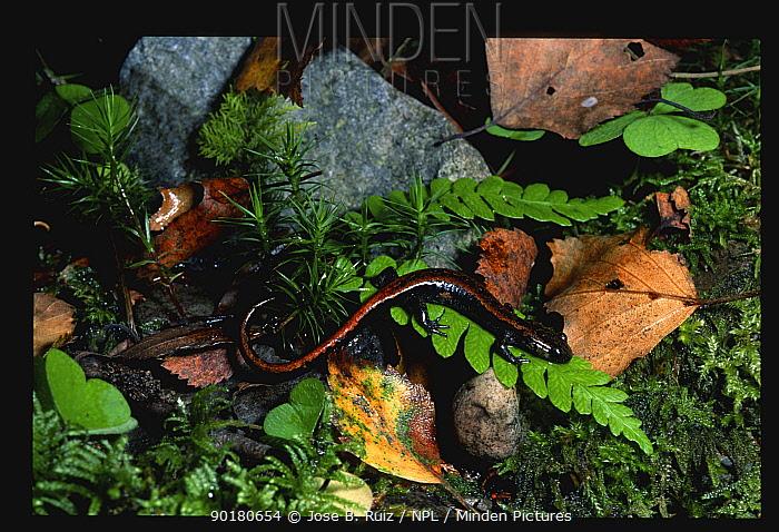 Golden striped salamander (Chioglossa lusitanica) Muniellos NP, Spain Asturias  -  Jose B. Ruiz/ npl