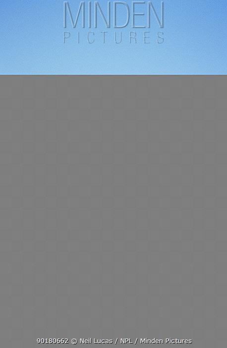 Brown bear (Ursus arctos) searching for clams in mud, Halo Bay, Alaska, USA  -  Neil Lucas/ npl