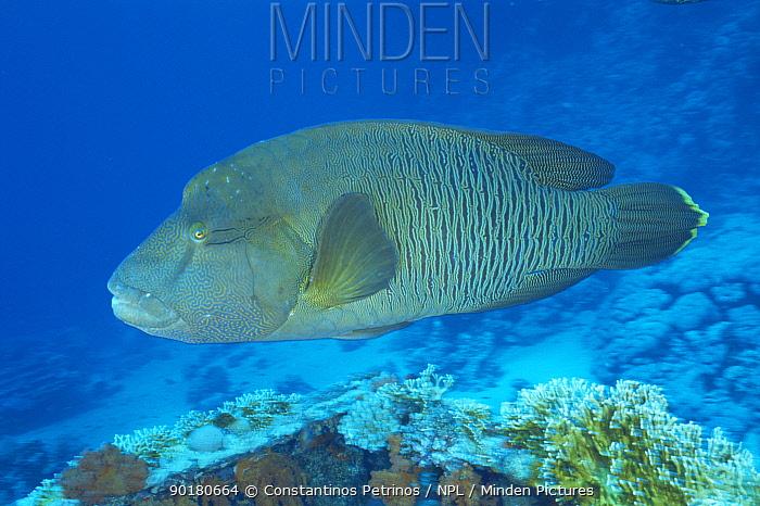 Humphead, Napolean wrasse (Cheilinus undulatus) Red Sea  -  Constantinos Petrinos/ npl
