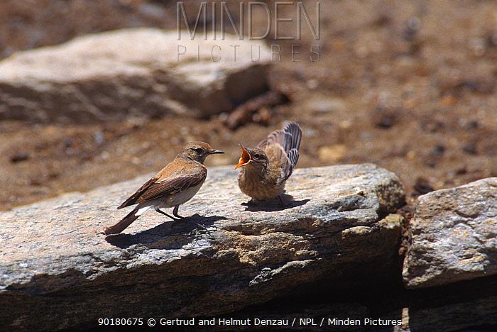 Desert wheatear chick begging food from adult (Oenanthe deserti) Ladakh, NE India  -  Gertrud & Helmut Denzau/ npl