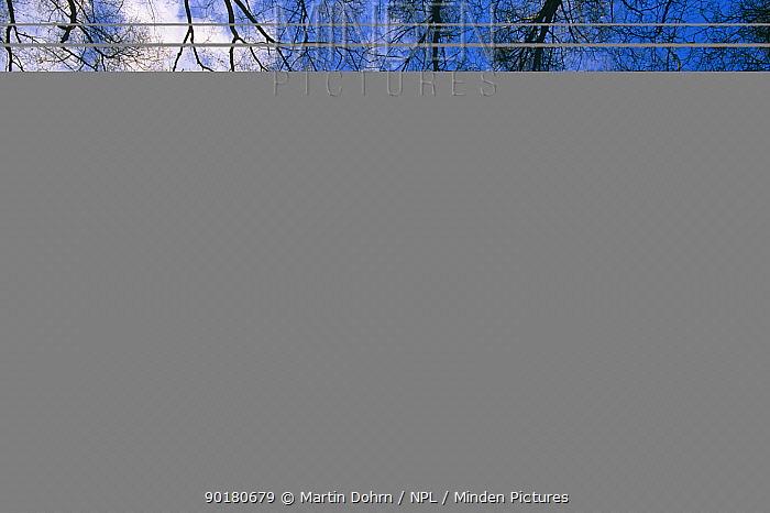 Looking up in Silver birch forest canopy in winter (Betula verrucosa) K  -  Martin Dohrn/ npl