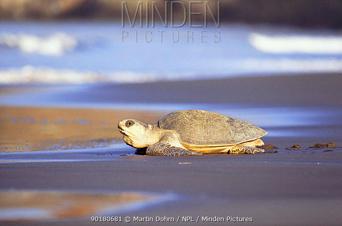 Olive ridley turtle returns to sea after egg laying, Costa Rica (Lepidochelys olivacea)  -  Martin Dohrn/ npl