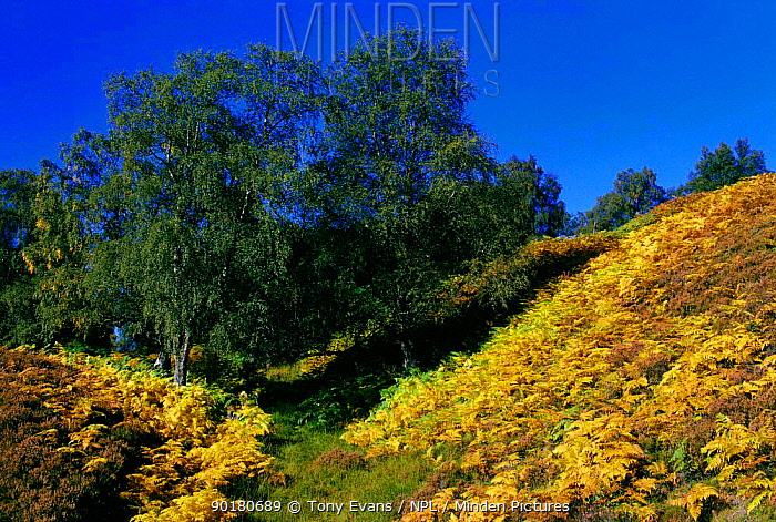 Birch trees and Bracken, Glen Affric, Inverness-shire, Scotland, UK  -  Tony Evans/ npl