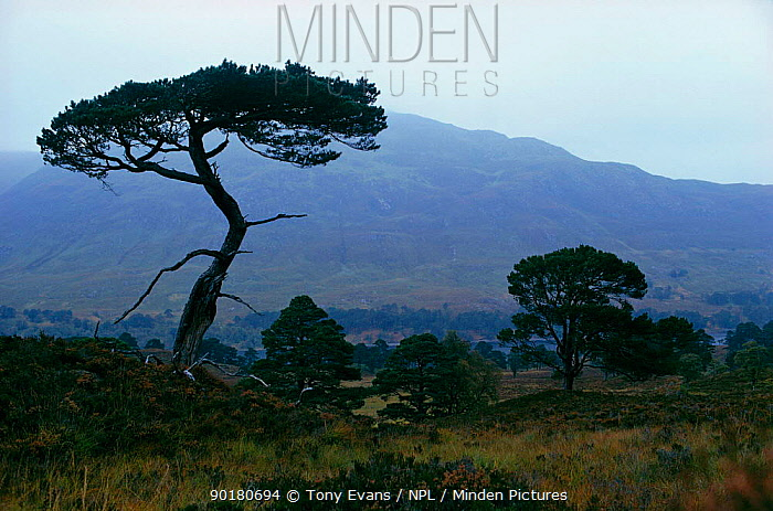 Scots pine tree silhouette (Pinus sylvestris) Inverness-shire, Scotland, UK  -  Tony Evans/ npl