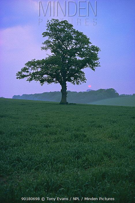 English oak tree (Quercus robur) with sun setting, UK  -  Tony Evans/ npl