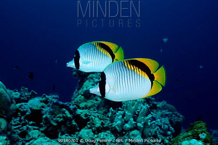 Two Lined butterflyfish (Chaetodon lineolatus) Sipadan, Borneo, Malaysia  -  Doug Perrine/ npl