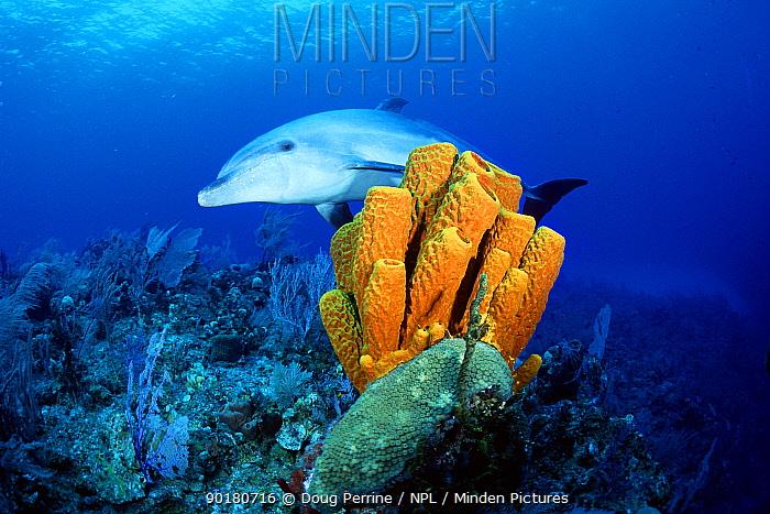 Bottlenose dolphin (Tursiops truncatus) Cayman Islands, Caribbean Sea  -  Doug Perrine/ npl