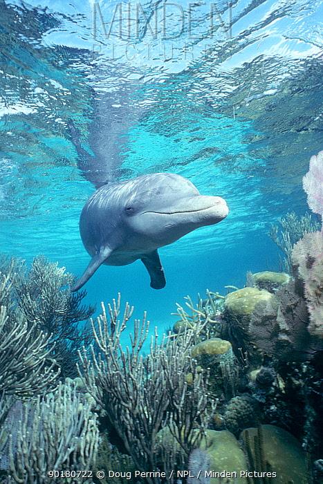 Wild sociable Bottlenose dolphin above coral reef (Tursiops truncatus) Belize -  -  Doug Perrine/ npl