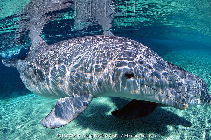 Bottlenose dolphin underwater (Tursiops truncatus) Dolphin Quest, Hawaii Captive  -  Doug Perrine/ npl