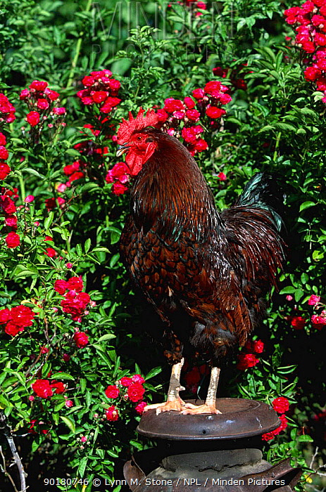 Domestic chicken, gold laced rock rooster (Gallus gallus domesticus) Iowa, USA  -  Lynn M. Stone/ npl
