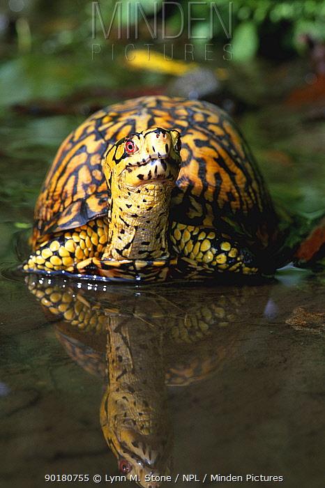 Eastern box turtle male in water (Terrapene carolina carolina) Michigan, USA  -  Lynn M. Stone/ npl