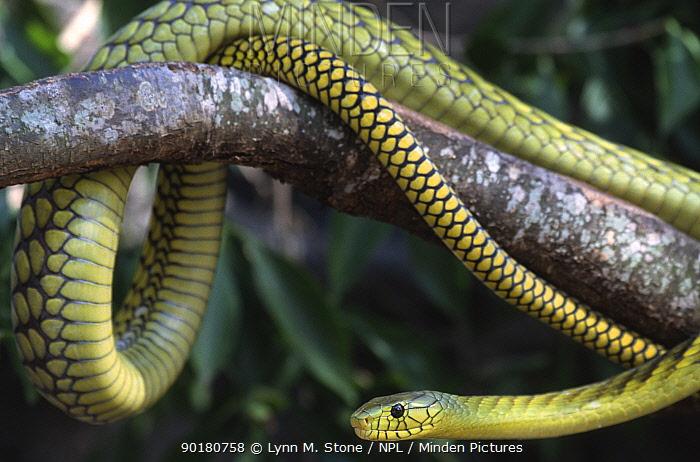 Western green, Jameson's mamba (Dendroaspis viridis) captive, from west africa  -  Lynn M. Stone/ npl