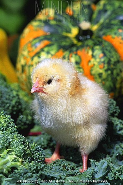 Domestic chicken chick (Gallus gallus domesticus)  -  Lynn M. Stone/ npl