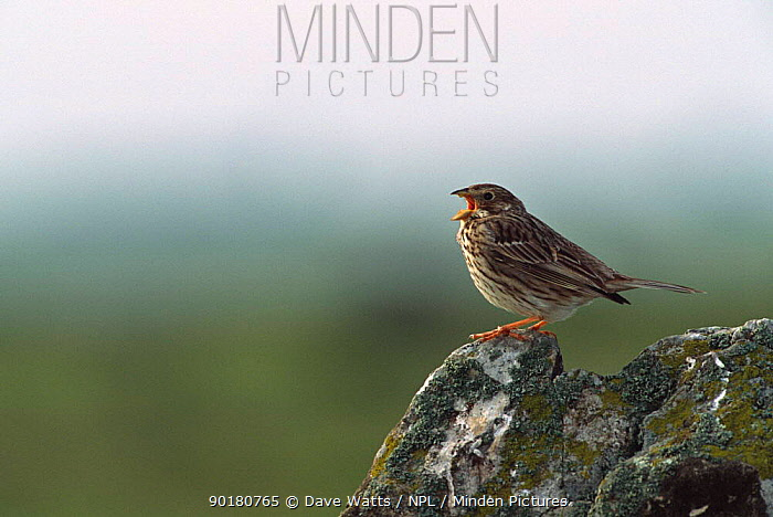 Corn bunting singing (Emberiza calandra) Spain  -  Dave Watts/ npl